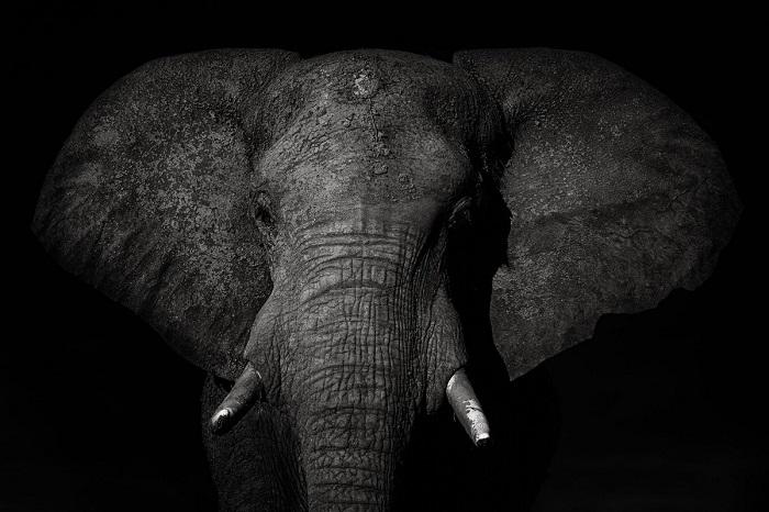 За прекрасный снимок саванного слона в Национальном парке Чобе (Ботсвана), испанский фотограф Марио Морено (Mario Moreno) получил похвальные отзывы жюри.