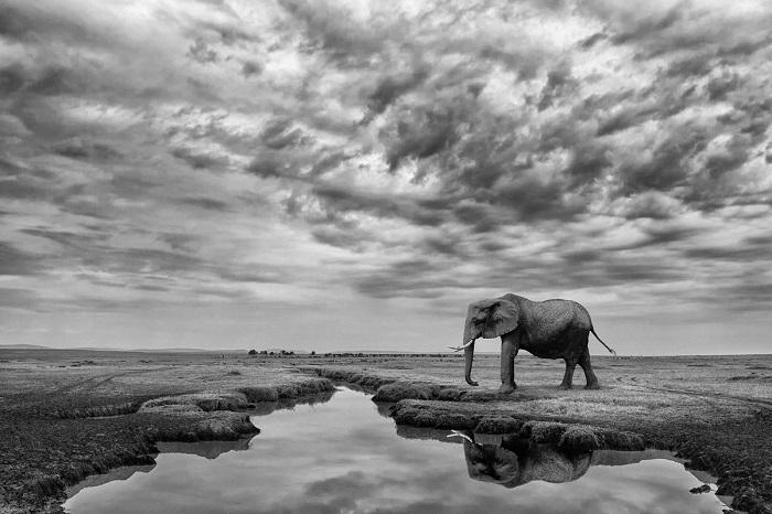 Еще один снимок испанского фотографа Марио Морено (Mario Moreno) был отмечен похвальными отзывами – слониха в Национальном заповеднике Масаи-Мара (Кения).
