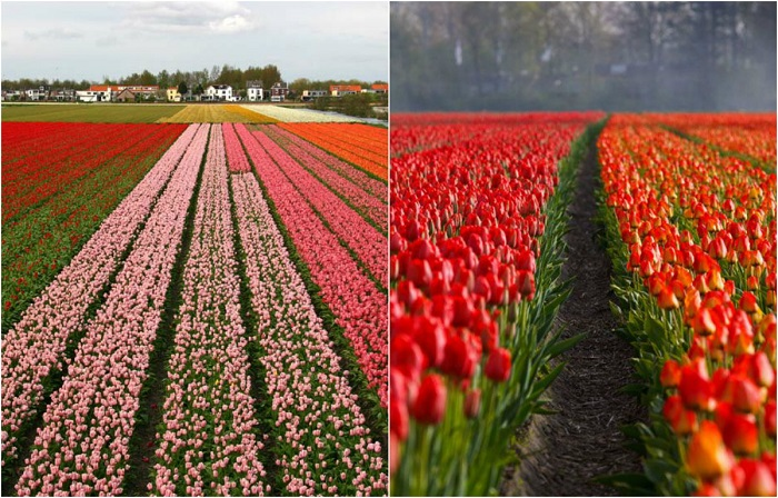С конца марта и до середины мая специально высаженные тюльпаны превращают поля в красочные лоскутные ковры.