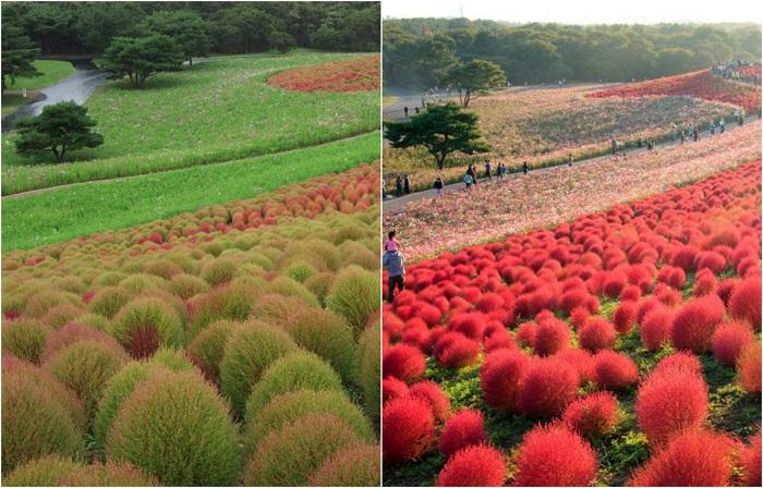 Плантации разных цветов расцветают в парке, где раз в год проводится фестиваль - «Гармония и немофилы».