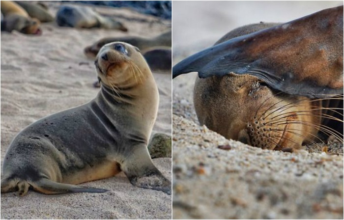 Милые детеныши галапагосских морских львов.