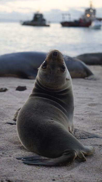 Галапагосские морские львы были обнаружены выдающимся норвежским ученым-зоологом Эрлингом Сивертсеном в 1953 году.