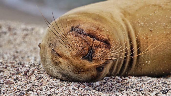 После каждого купания щенок морского льва, как и его мама, подолгу греется на солнышке и чистит шерстку.