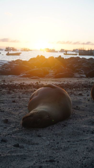 Галапагосские морские львы находятся под угрозой вымирания из-за ослабления иммунитета, которое происходит в результате постоянных контактов с человеком.