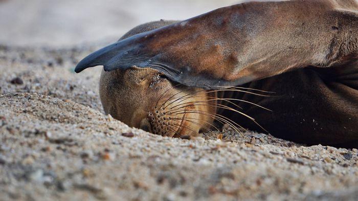 С помощью ласт, сгибающихся в голеностопном суставе, животные могут довольно быстро перемещаться по суше.