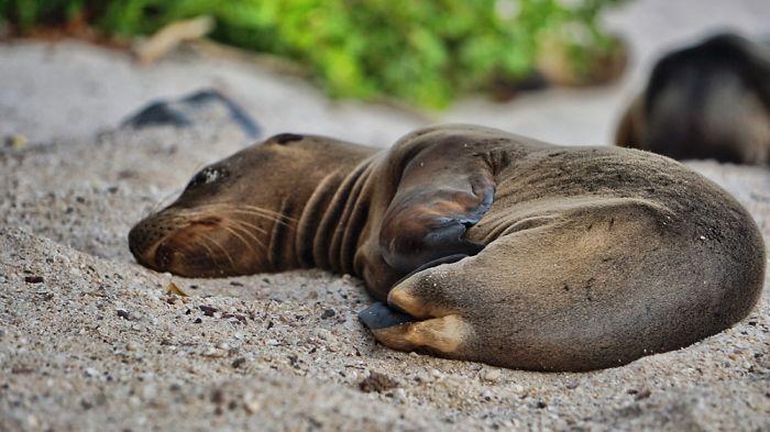 Сразу после рождения галапагосские морские львята имеют золотистый мех и весят около 20 килограмм.