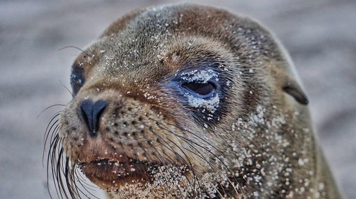 Жизненно важная задача для малыша морского льва – как можно быстрее стать отличным пловцом, что поможет уйти от опасности на берегу и добыть пропитание в воде.