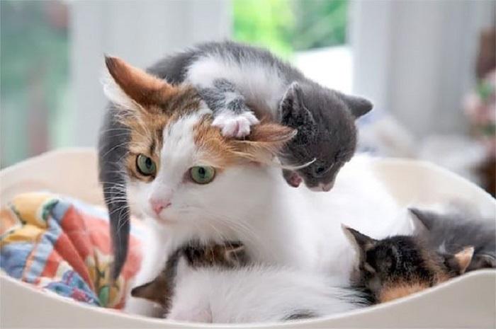 Кошка с приёмными котятками.