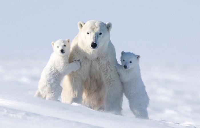 Снимки семьи полярных медведей.