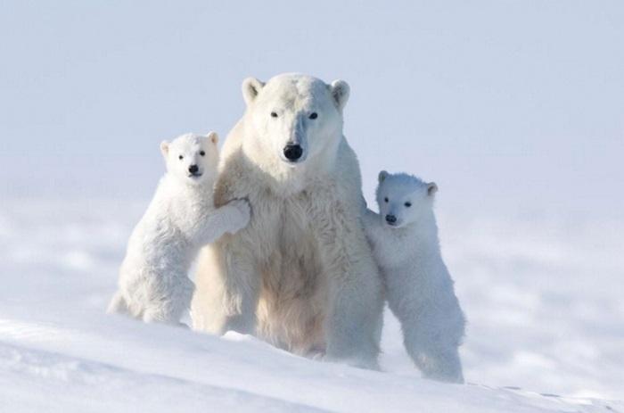 Мастерство и терпение канадского фотографа дали возможность стать свидетелями первого выхода медвежат в большой мир.