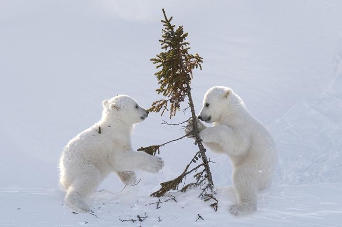 Температура -50С идеально подходит для прогулок маленьких белых медвежат.