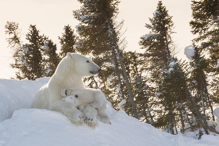 Но фотограф дикой природы не сдалась и получила великолепные и редкие снимки медвежьей семьи.