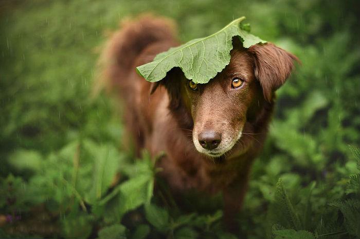 Пёс под лопухом.