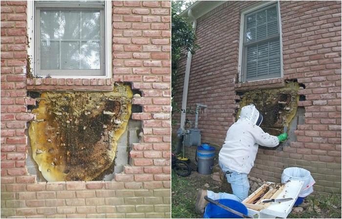 Медоносные пчёлы построили улей под окном дома.