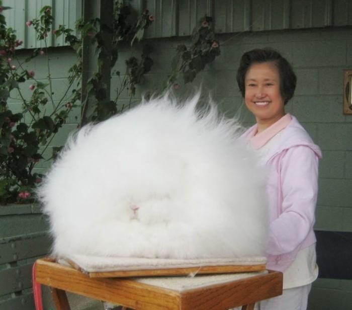 Таких милых кроликов, родиной которых является область Ангора в Турции, разводят специально для получения длинной и мягкой шерсти.