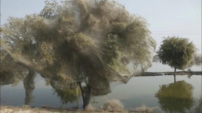 Причиной появления деревьев, окутанных паутиной, послужило наводнение невероятных масштабов, которое затопило большую часть территории Пакистана и вынудило пауков искать убежища повыше от земли.