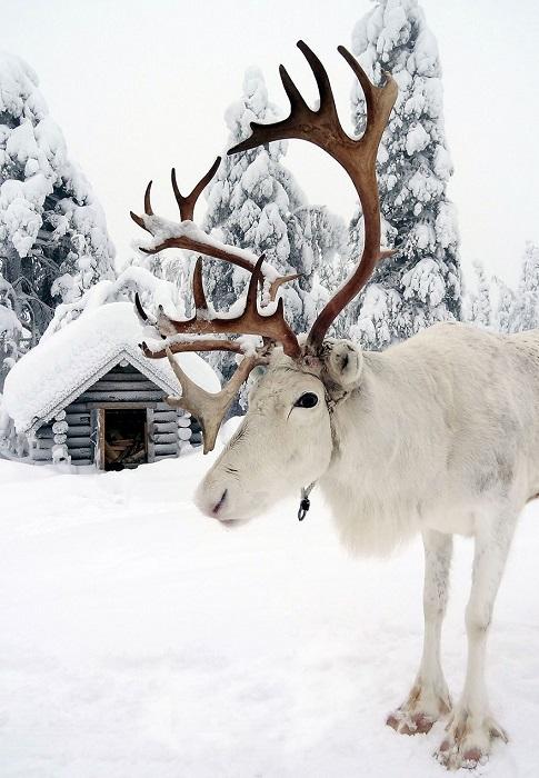 Олень - животное, символизирующее красоту и величие хвойных лесов и народа севера.
