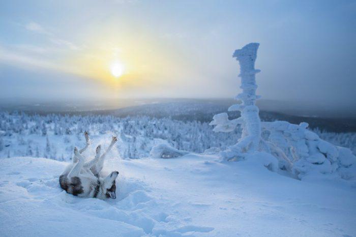 Озорной хаски кувыркается в снегу -  это ее самое любимое время года.