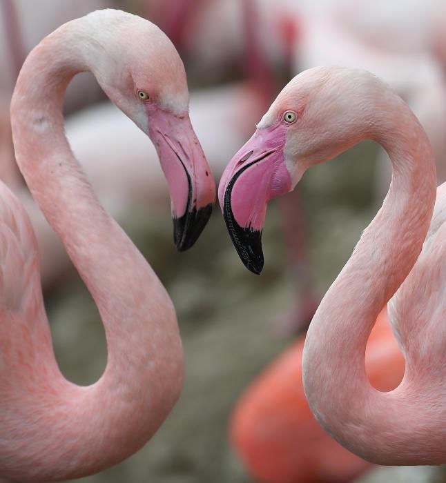 Продолжительность жизни птиц в естественных условиях не известна, но в неволе они доживают до 30 лет.