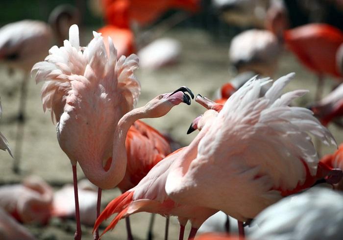 Необычный окрас розовый фламинго приобретает благодаря веществу каротиноиду, который поступает к ним в организм благодаря пище.