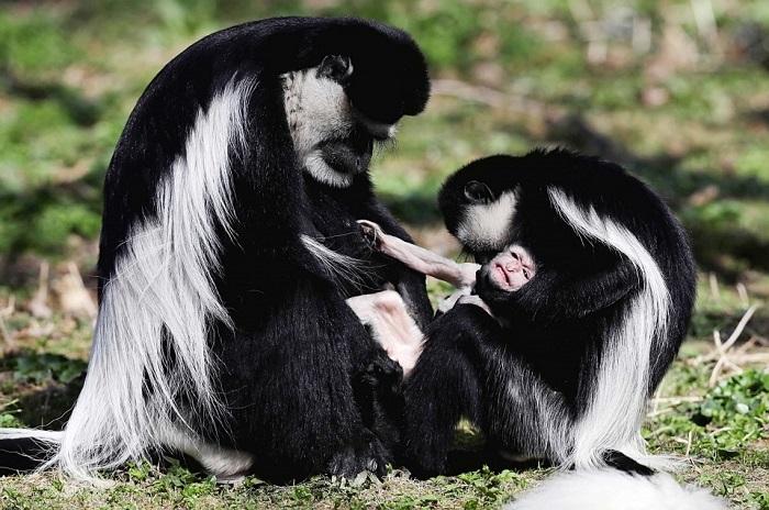 Семья обезьян восточного колобуса в Пражском зоопарке со своим потомством.
