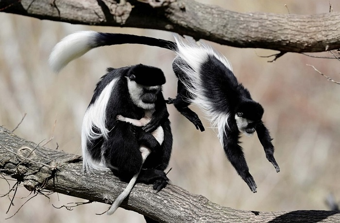 В природе восточные колобусы живут небольшими группами от 3 до 15 особей.