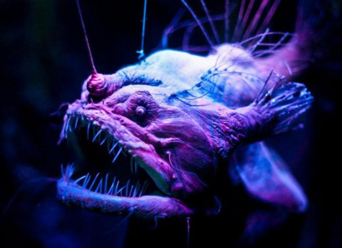 Необычная хищная рыба.