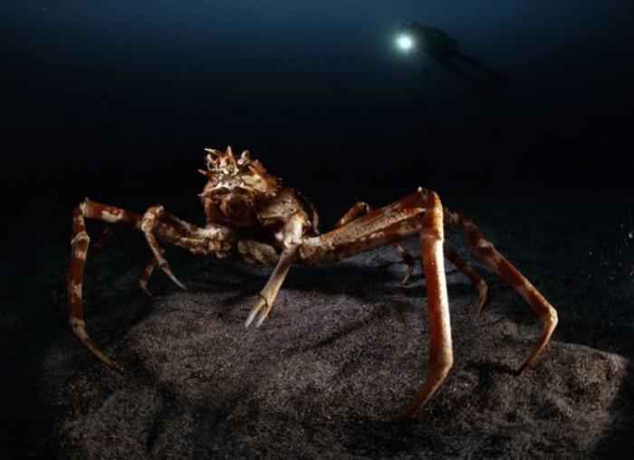 Один из самых крупных представителей членистоногих: крупные особи достигают 3 м в размахе первой пары ног.