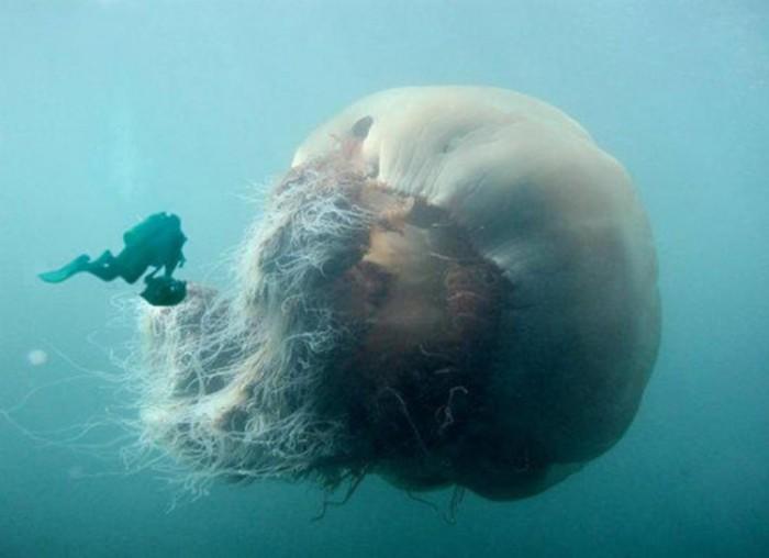 Самая крупная медуза во всем мировом океане.