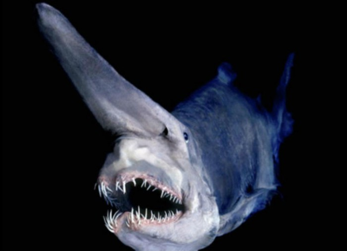 Необычная глубоководная акула, единственный представитель рода акулы-домовые или скапаноринхи.