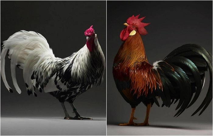 Великолепные портреты кур и петухов декоративных пород.