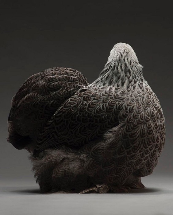 Курица породы Брама серого окраса с узорчатыми перьями.