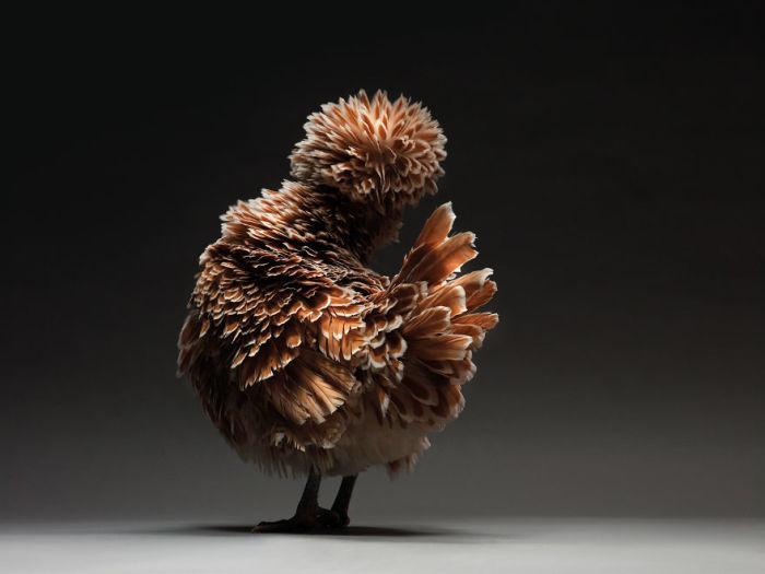 Золотистая курица Польской кружевной породы.