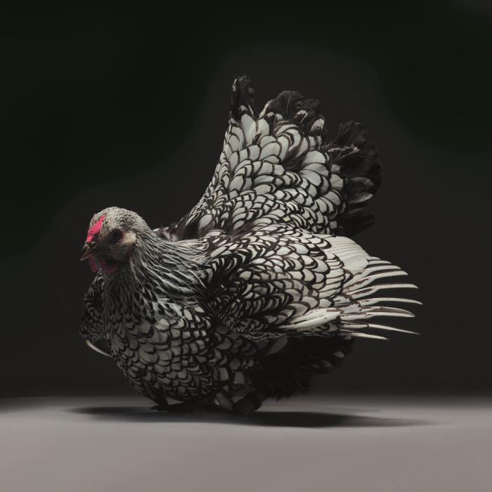 Курочка породы Виандот серебристого окраса с окаймленными перьями.