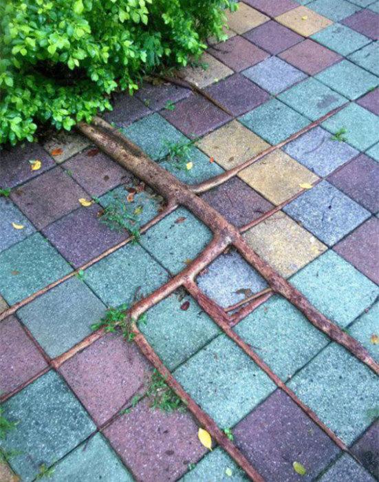 Коріння дерева знайшли шлях для зростання навіть в викладеної плитці тротуару.