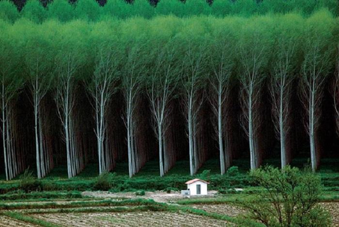 Ліс, посаджений рівними смугами - це дивно і неймовірно.