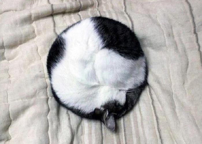 Чорно-біла кішка згорнулася калачиком.