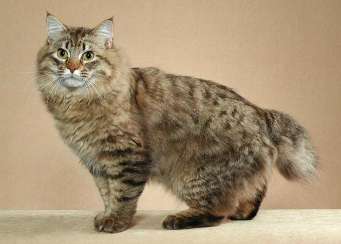 Крупная порода домашних кошек, выведенная на основе диких североамериканских.   Фото: playserver.net