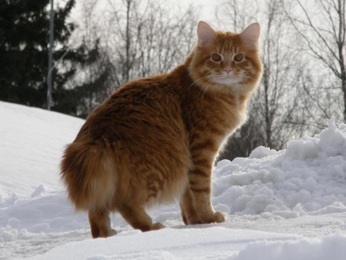 Российская порода домашней короткохвостой кошки.   Фото: udivitelno.com