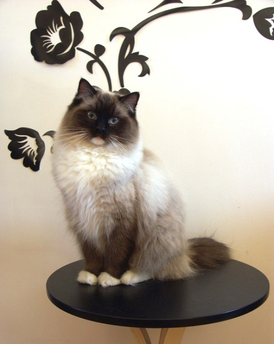 Самая популярная порода кошек в мире.   Фото: udivitelno.com