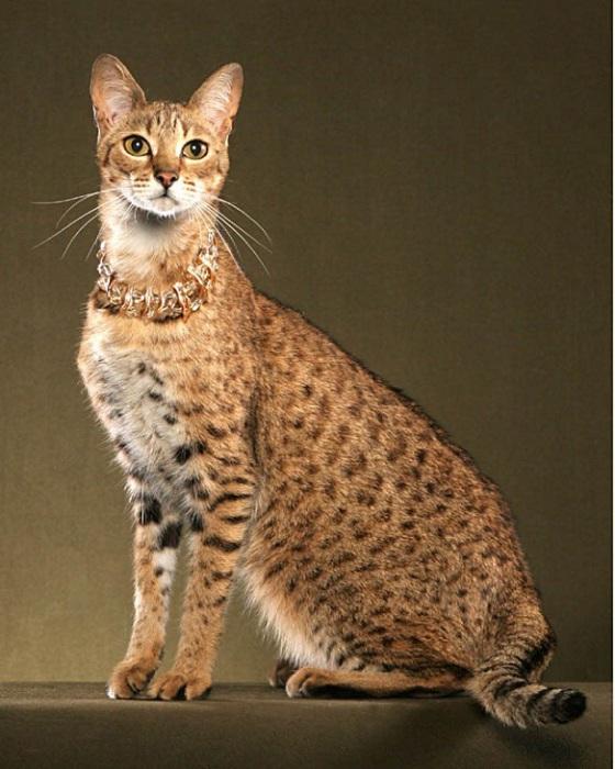 Кошка, выведенная путем гибридизации африканского сервала и домашней кошки.   Фото: espacebuzz.com