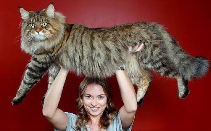 Мейн-кун по кличке Стьюи в 2010 году был занесен в Книгу рекордов Гиннесса как самый длинный кот в мире: его длина от кончика носа до кончика хвоста составляет 123 сантиметра!   Фото: udivitelno.com
