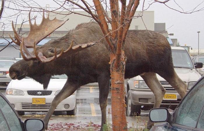 Лесной рогатый гигант прогуливается по автомобильной стоянке среди легковушек.