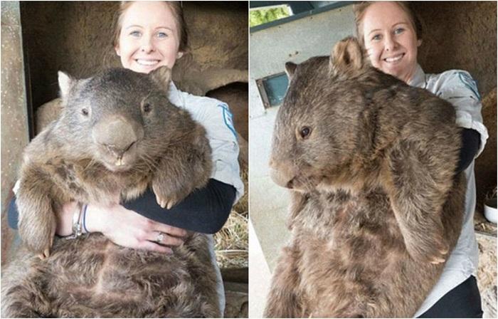 Милый 29-летний пушистик Патрик с весом 38 килограмм является самым большим и старым в мире вомбатом.