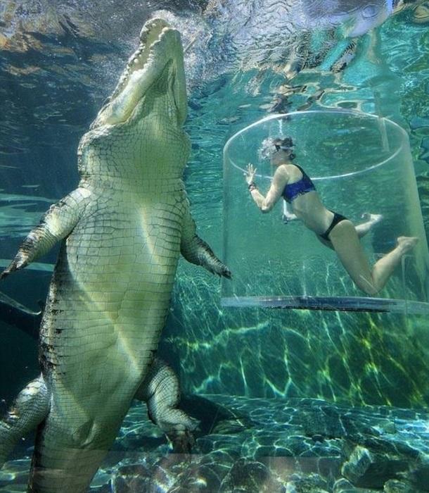Прозрачная цистерна позволяет наблюдать поведение гигантского крокодила и сравнить его размер с человеком.