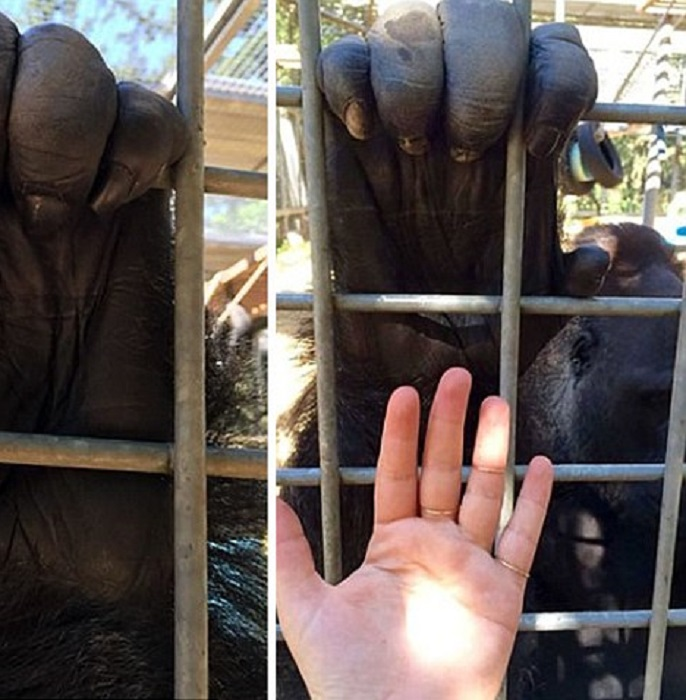 Сравните размер ладони среднестатистической гориллы и человека.