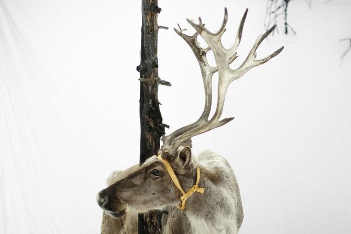 Привязанный к дереву олень в заснеженной монгольской степи.