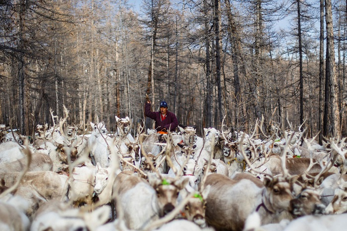 Оленеводы до сих пор кочуют по тундре.