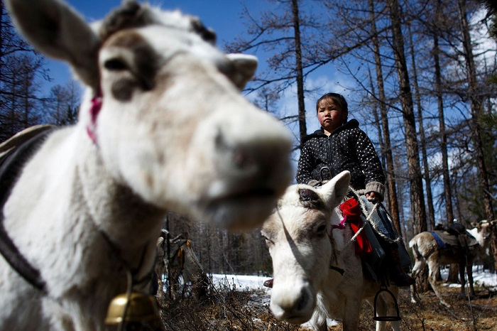 Шестилетняя дочь пастуха, едет на олене неподалёку от лагеря.
