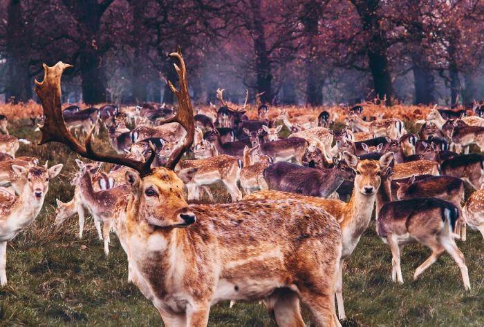 Стадо оленей встречает осень в Ричмонд-парке.